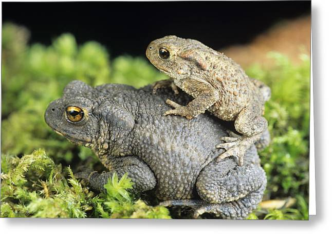 Common Toads Mating Greeting Card by David Aubrey