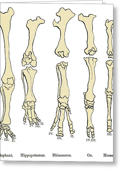 Comparison Of Animal Feet, Historical Art Greeting Card by Sheila Terry