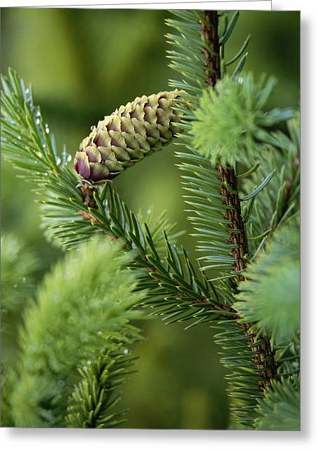 Cone And Branch Of Sitka Spruce, Point Greeting Card