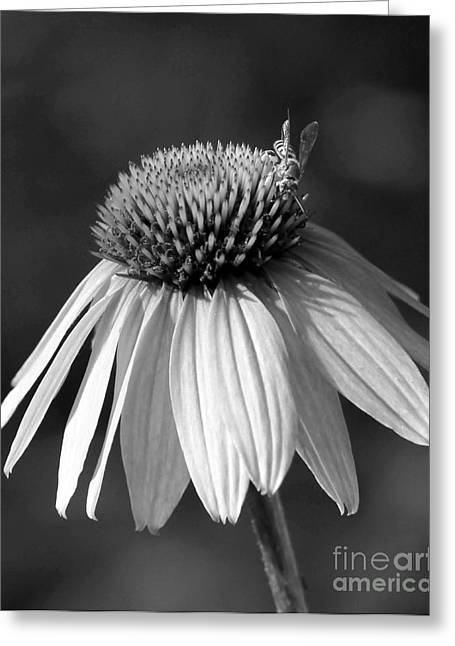 Cone Flower And A Bee Greeting Card by Sabrina L Ryan
