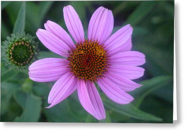 Cone Flower Greeting Card by Linda Pope