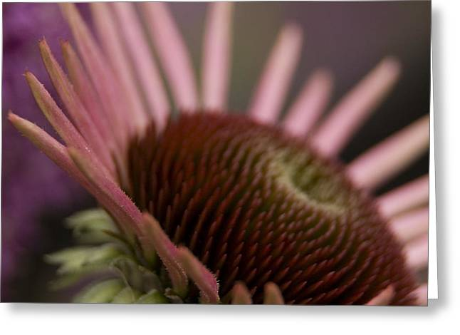 Cone Flower Studies 2012 Greeting Card