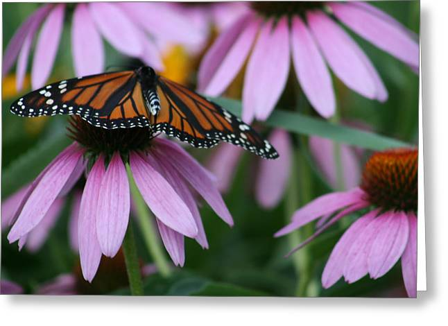 Greeting Card featuring the photograph Cone Flowers And Monarch Butterfly by Kay Novy