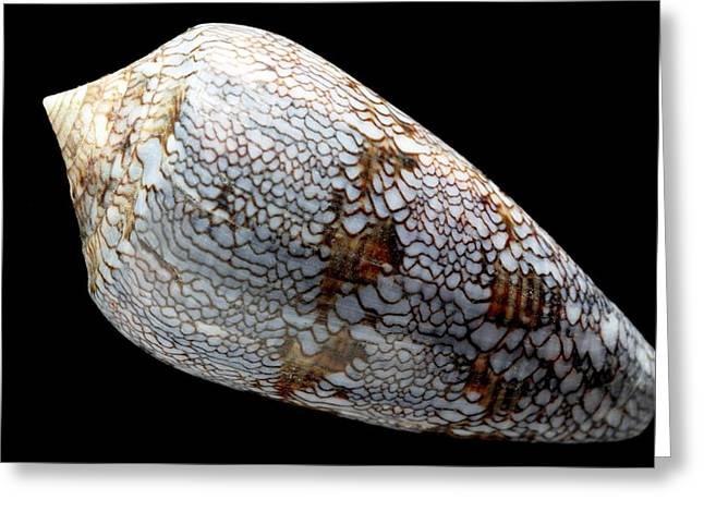 Cone Shell Greeting Card by Dirk Wiersma