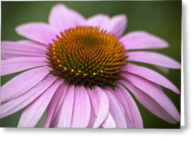 Coneflower Closeup Greeting Card