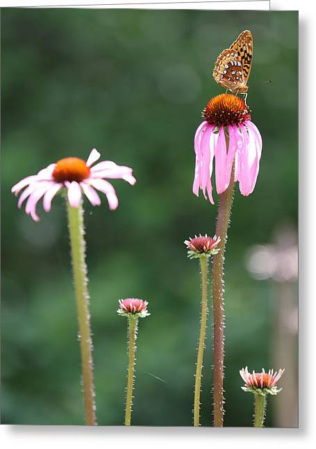Coneflowers And Butterfly Greeting Card