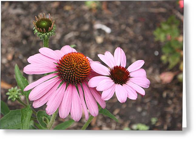Coneflowers Nb Greeting Card by Susan Alvaro