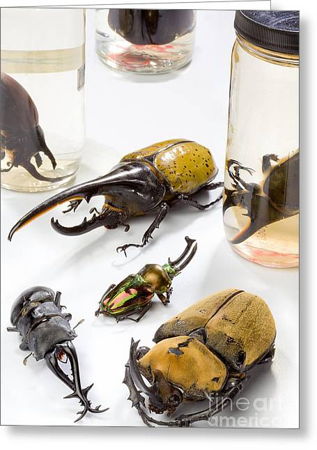 Confiscated Beetles Greeting Card by Science Source