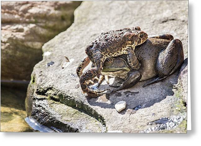 Confused Toad On Top Of Frog Greeting Card by Kathleen Nelson
