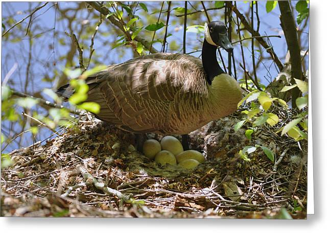 Contented Goose Watching The Visitor  - C0577b Greeting Card by Paul Lyndon Phillips
