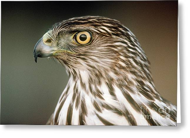 Greeting Card featuring the photograph Cooper's Hawk by Doug Herr