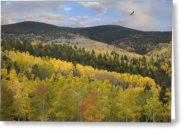 Coopers Hawk Flying Over Quaking Aspen Greeting Card by Tim Fitzharris