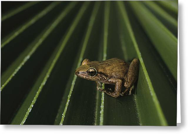 Coqui Frogs Invaded The Hawaiian Greeting Card by Melissa Farlow