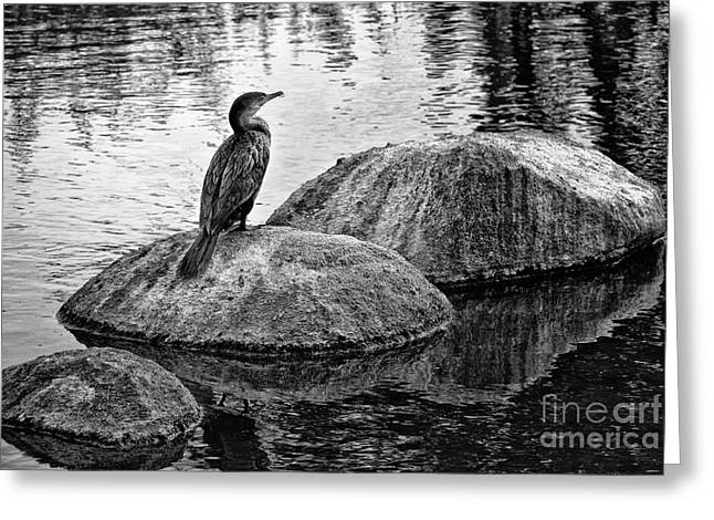 Cormorant On Rocks Greeting Card by Jim Moore