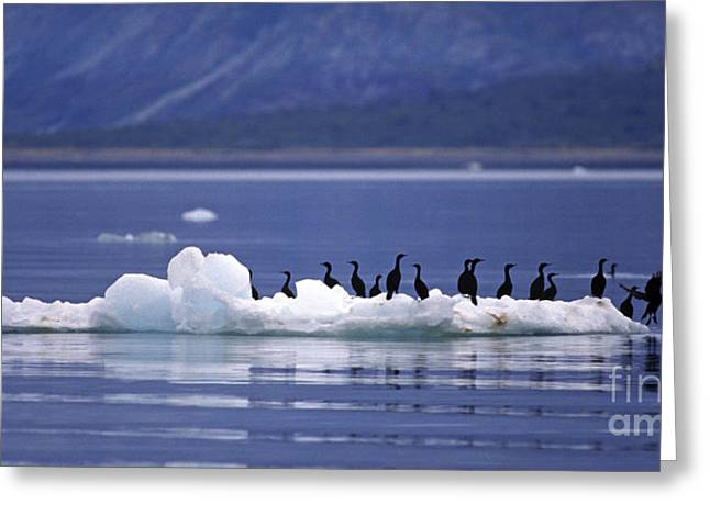 Greeting Card featuring the photograph Cormorants On Ice Floe - Glacier Bay Alaska by Craig Lovell