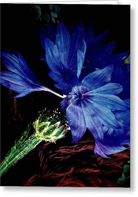 Cornflower  Greeting Card by Chris Berry