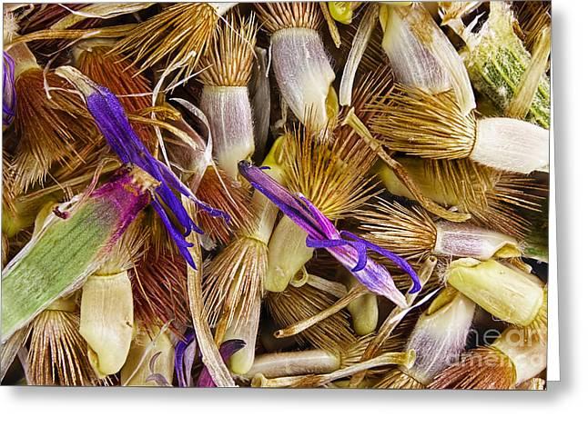 Cornflower Seeds Greeting Card by M I Walker