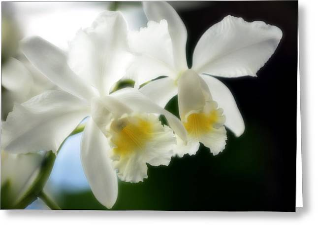 Corsage Orchid (cattleya Hybrid) Greeting Card by Maria Mosolova