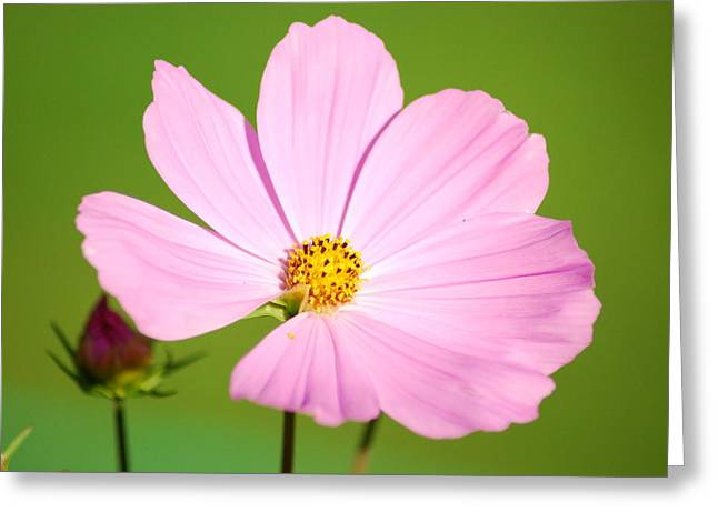 Cosmos And Bud Greeting Card