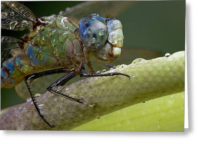 Costa Rican Dragonfly Greeting Card by Piotr Naskrecki