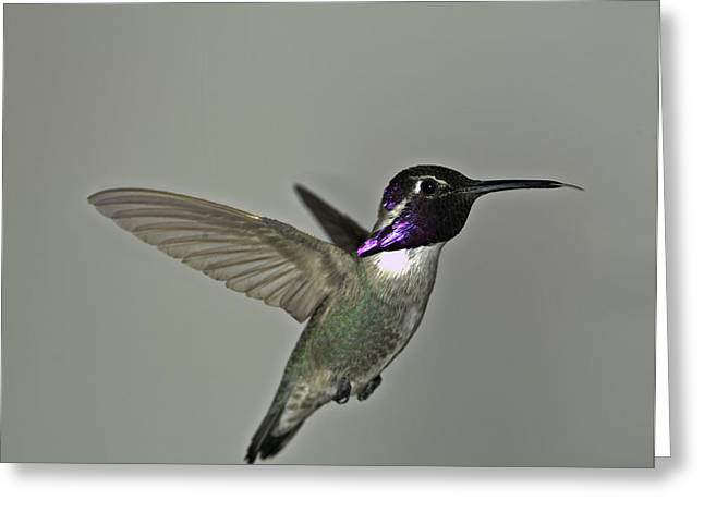 Greeting Card featuring the photograph Costas Hummingbird by Gregory Scott