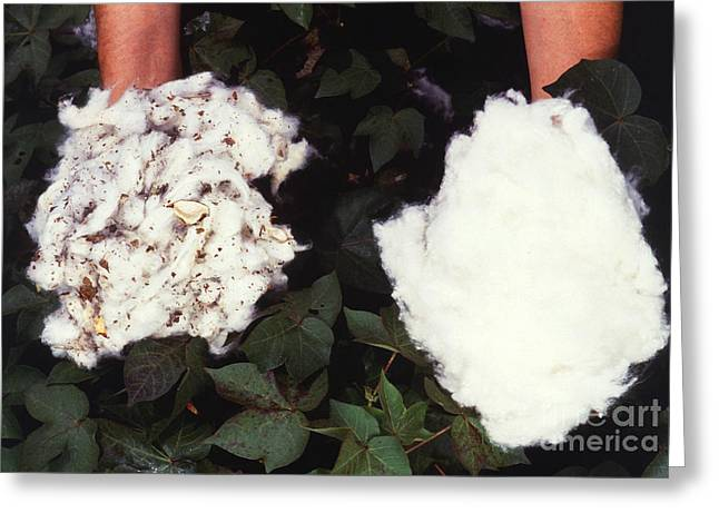 Cotton Comparison Greeting Card by Photo Researchers