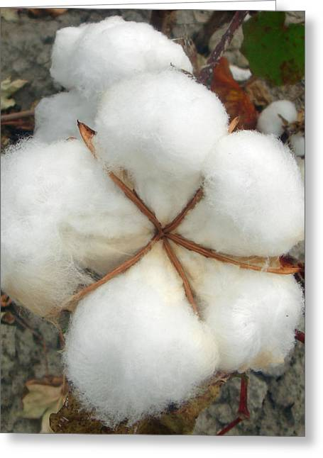 Cotton Greeting Card by David  Brown
