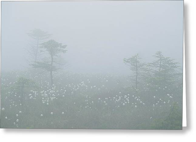 Cotton Grass Swamp And Spruce Trees Greeting Card