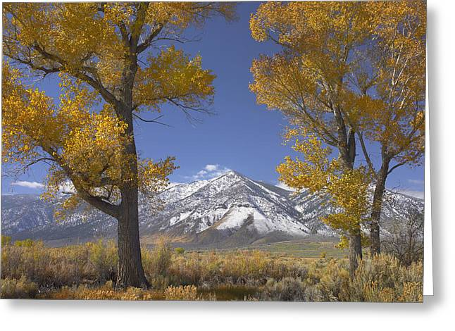 Cottonwood Trees Fall Foliage Carson Greeting Card by Tim Fitzharris
