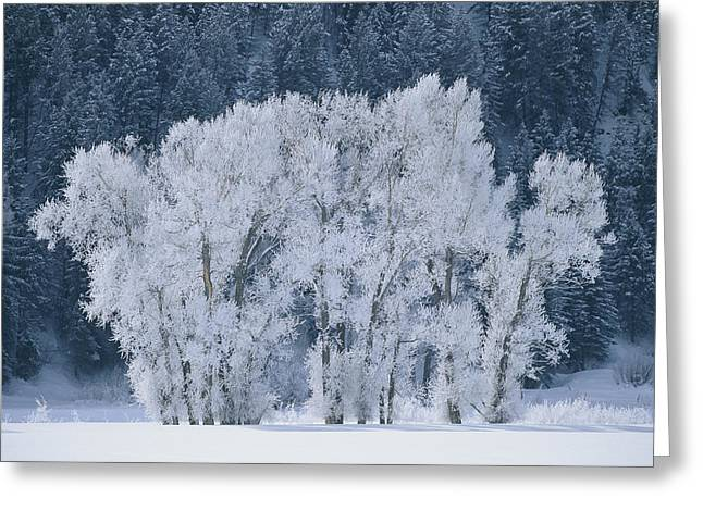 Cottonwood Trees With Frost Greeting Card by Skip Brown