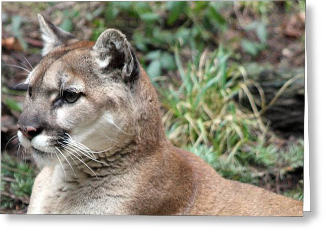 Cougar - 0006 Greeting Card by S and S Photo
