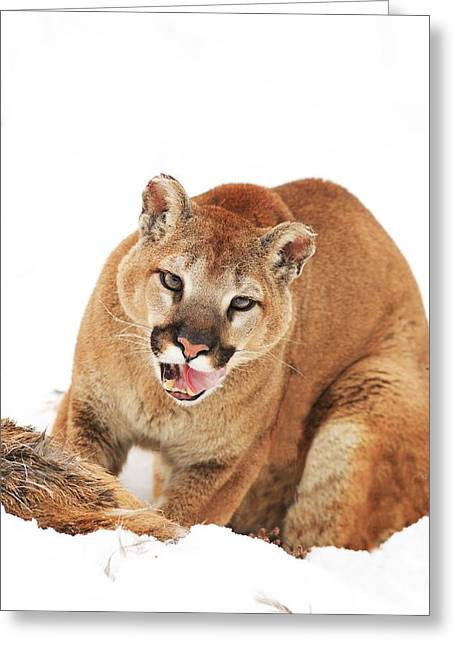 Cougar With Prey Greeting Card by Richard Wear