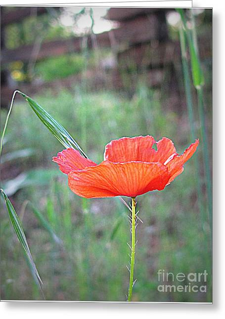 Greeting Card featuring the photograph Country Poppy by Irina Hays