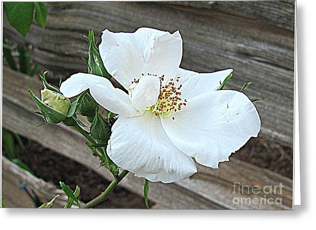 Greeting Card featuring the photograph Country Rose by Irina Hays