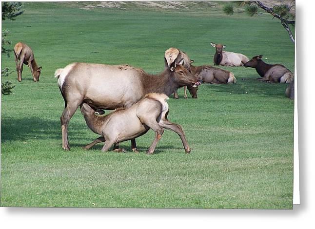 Cow Elk Feeding Calf Greeting Card by Richard Adams