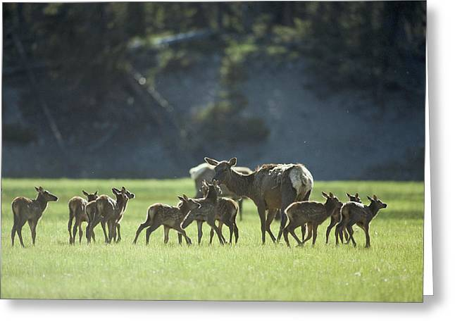Cow Elk With Calves, Madison River Greeting Card by Raymond Gehman