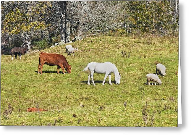 Domestic Cattle Greeting Cards - Cow Horse Sheep Grazing On Grass Farm Field Maine Greeting Card by Keith Webber Jr