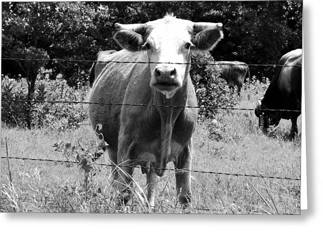 Cow Time Greeting Card by Sharon Farris
