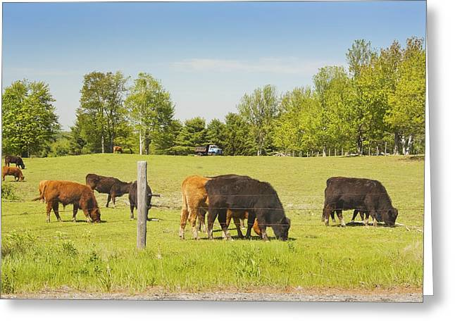 Maine Spring Greeting Cards - Cows Grazing On Grass In Maine Farm Field Spring Greeting Card by Keith Webber Jr