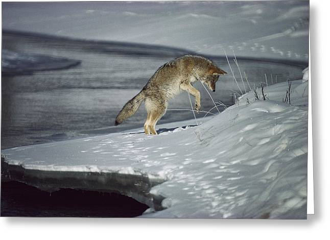 Coyote Canis Latrans Pouncing On Small Greeting Card