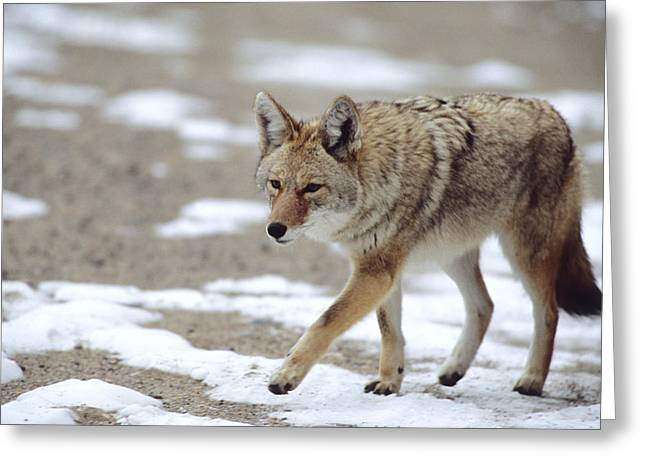 Coyote Canis Latrans Rocky Mountain Greeting Card