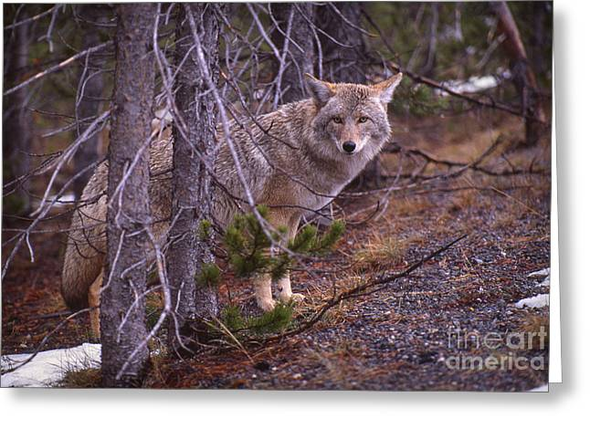 Coyote In Yellowstone National Park Greeting Card by Janeen Wassink Searles
