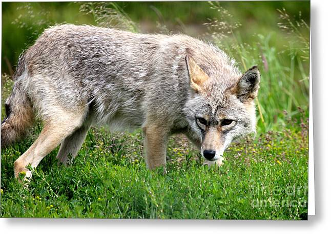 Greeting Card featuring the photograph Coyote On The Prowl by Kathy  White