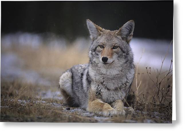 Coyote Resting In Winter Grass, Snowing Greeting Card by Leanna Rathkelly