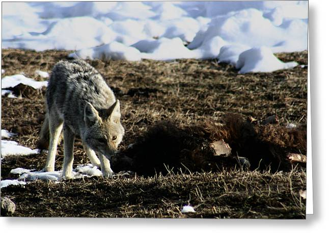 Coyote Yellowstone National Park Greeting Card