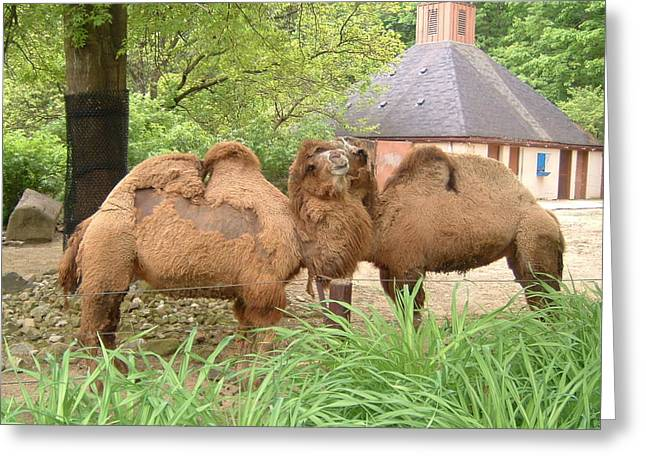 Cozy Camels - Cleveland Metro Zoo 1 Greeting Card by S Taylor