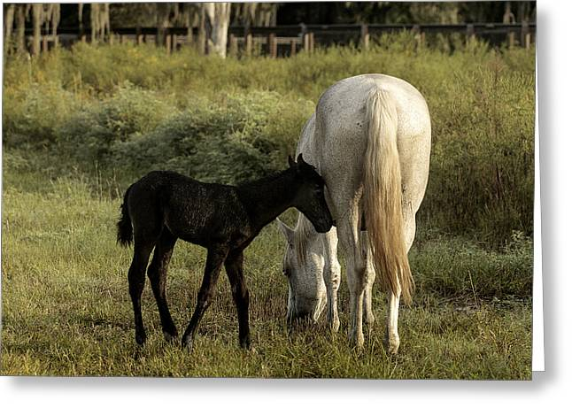 Cracker Foal And Mare Greeting Card by Lynn Palmer