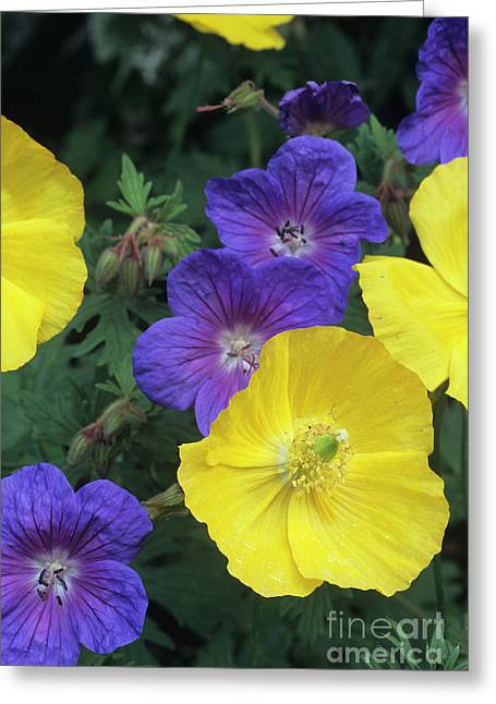 Cranesbill And Iceland Poppy Flowers Greeting Card by Archie Young
