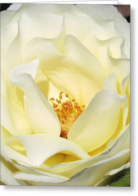 Cream Rose  Greeting Card by Rebecca Overton