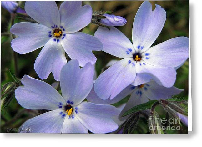 Creeping Phlox Greeting Card by J McCombie